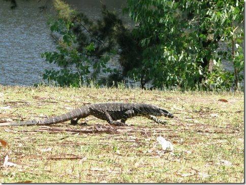 A Goanna spotted looking for food